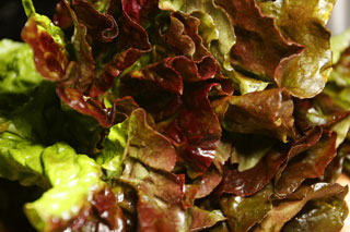 lettuce_red_leaf_lettuce_ls
